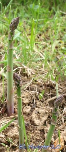 Esparrágos trigueros