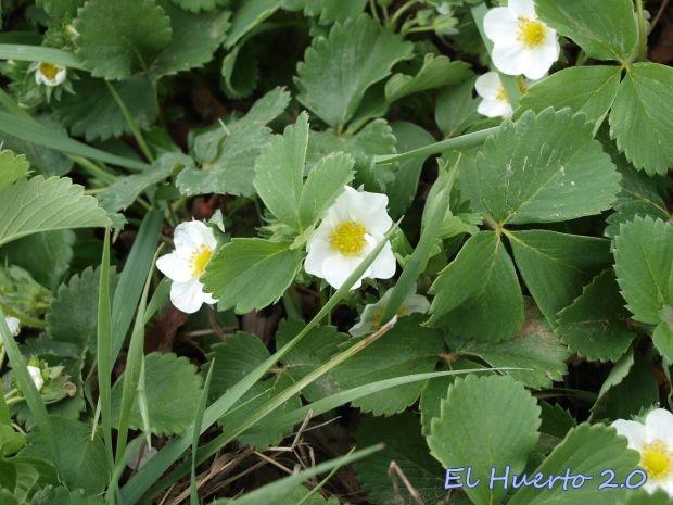 Flores  de la Fragaria vesca