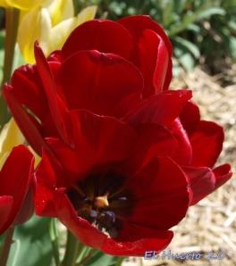 Tulipa multiflora rot