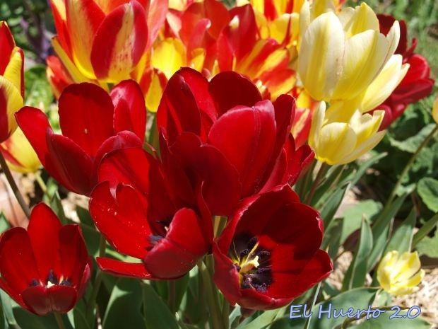 Tulipanes multiflora