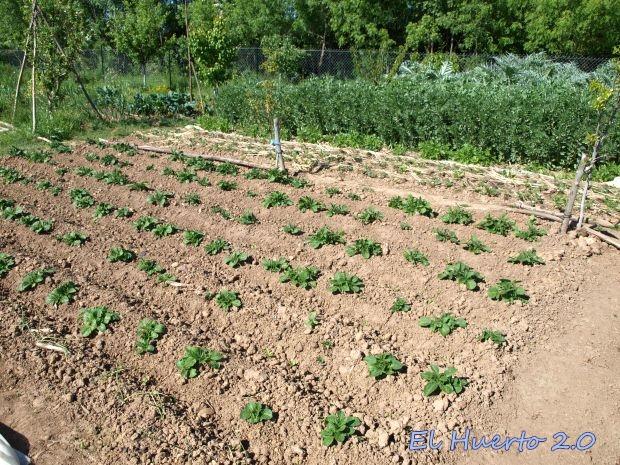 En primer término las patatas naciendo, luego fresas y antes de las habas la hilera de la patata de piel morada