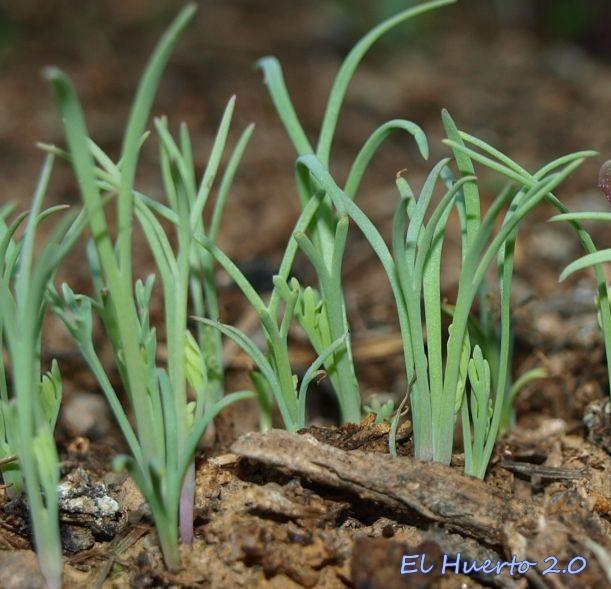 Plántulas semillero