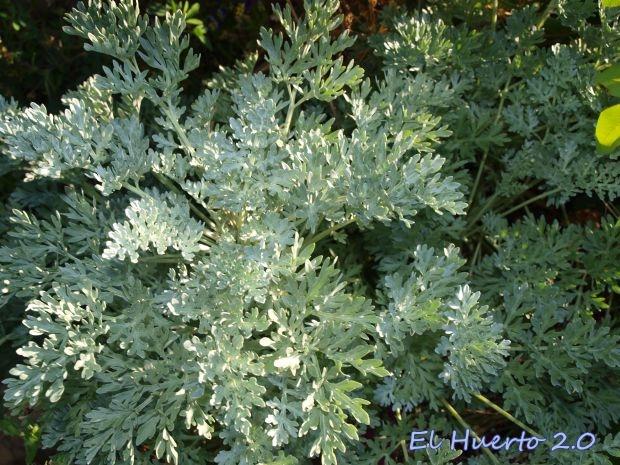 Planta de Ajenjo