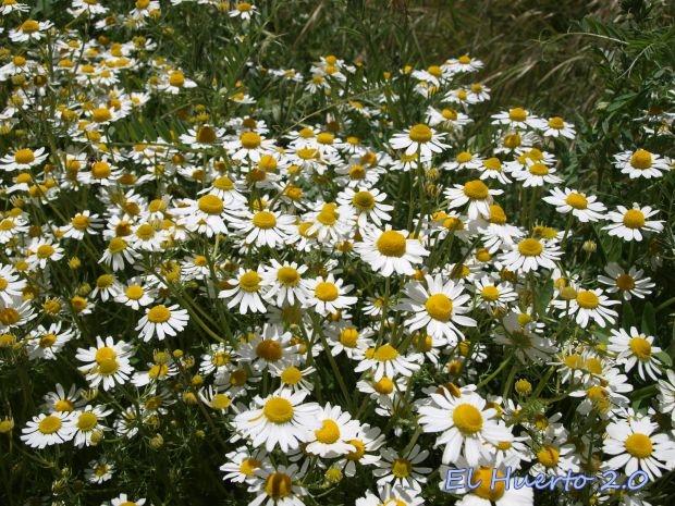 Matricaria recutita en flor