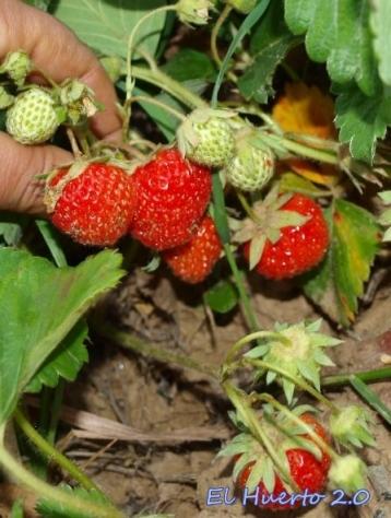 Las fresas agradecieron el calor