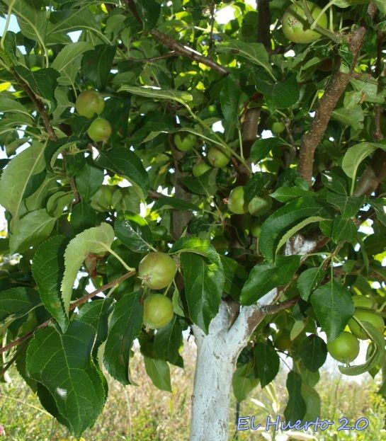 Se caen las manzanas | El Huerto 2.0