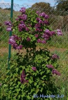 Arbusto junto a la valla
