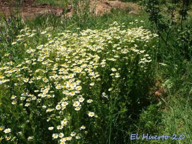 Crecimiento casi vertical, rodeada de hierba
