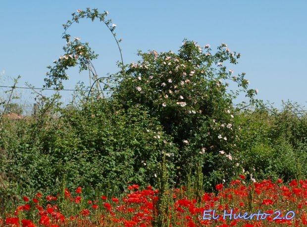 Rosal silvestre en el campo de amapolas