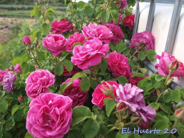 Rosal Antiguo: Rosal Borboriano