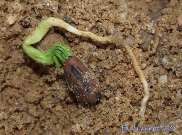 Semilla de piñonero germinando