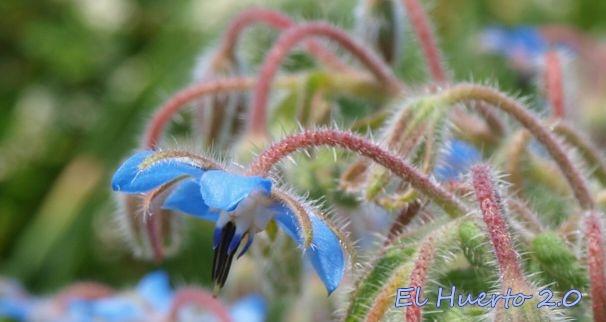 Flor de la Borraja