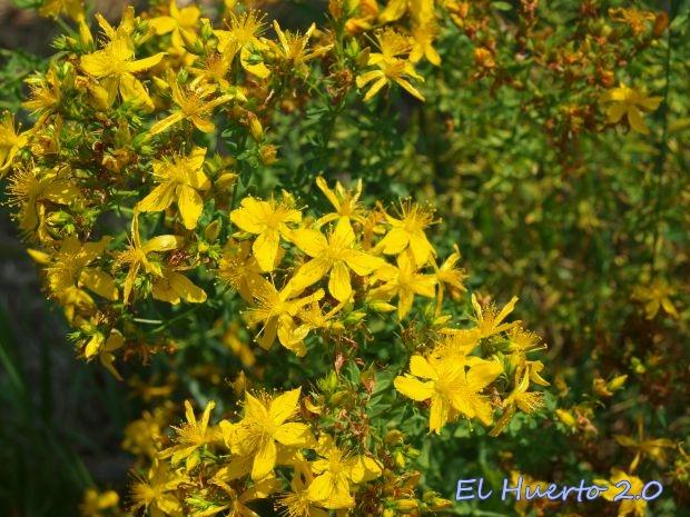 Flores de Hipérico