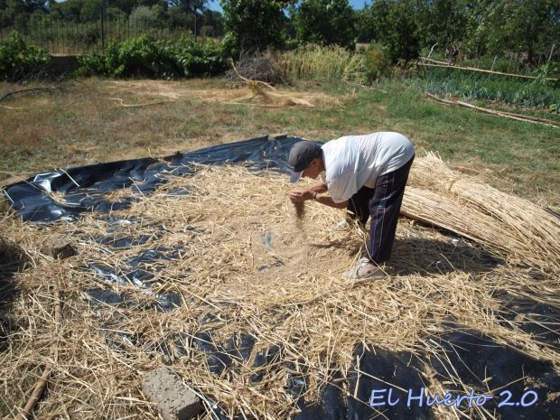 limpiando  el grano
