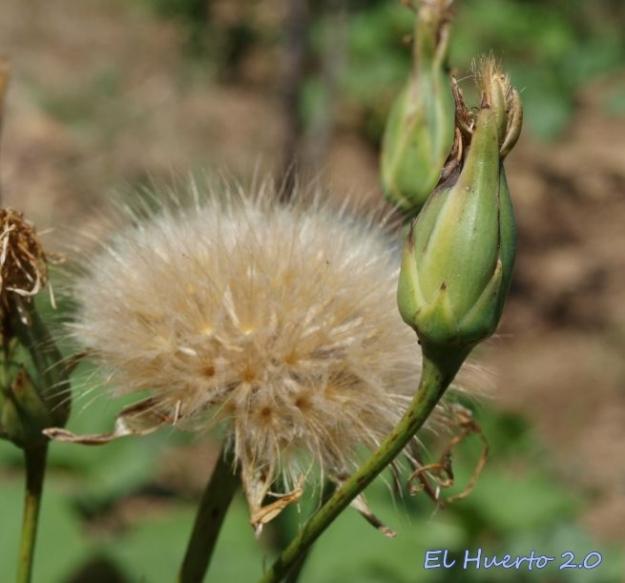 Scorzonera hispánica abriendo sus semillas a la dispersión