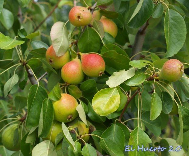Con fruta pequeña, pero  abundante