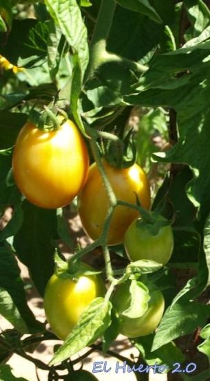 Maduración del tomate