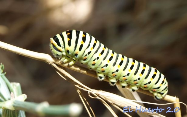 Papilio machaon rayada, en blanco