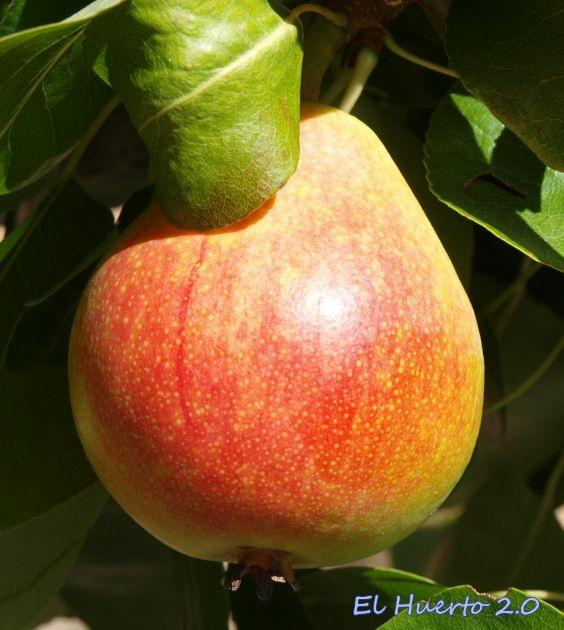 Lenticelas por las que respira  la fruta