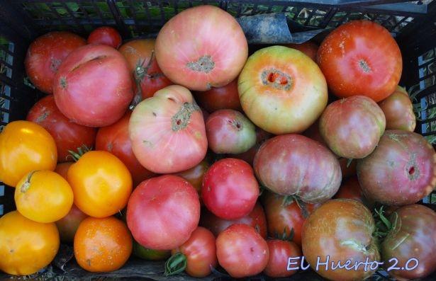 Tomates gordos
