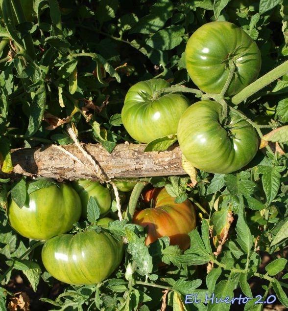 Tomates gordos en la planta