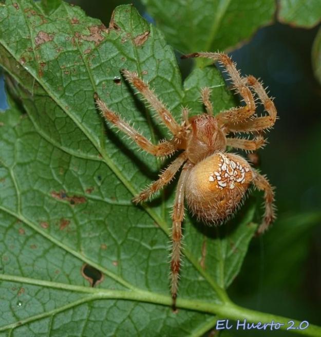 Araña de jardín
