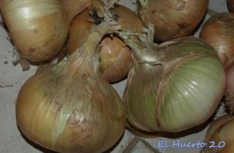Cebolla jugosa, grande y de carne blanca