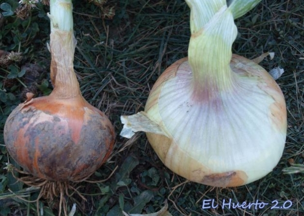 Comparando calibres entre cebolla valenciana y la grande