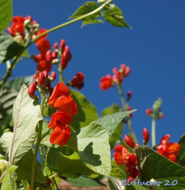 Phaseolus coccineus en flor