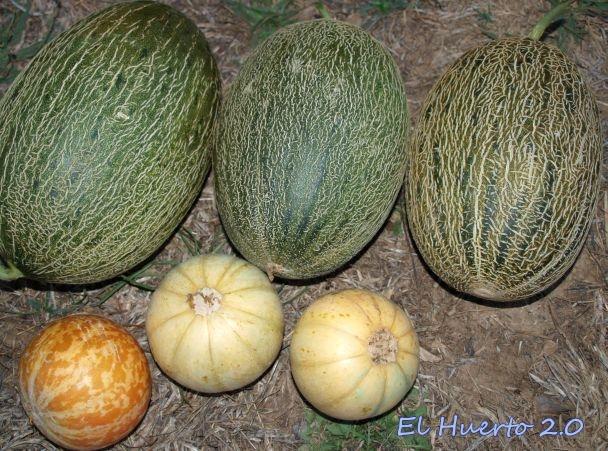 Melones Piel de Sapo, melón Tigre y Cantalupos