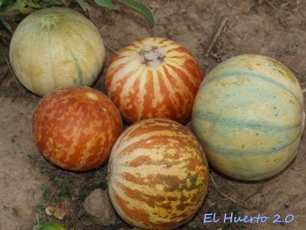Cosecha de melones: Cantalupos y Tigre