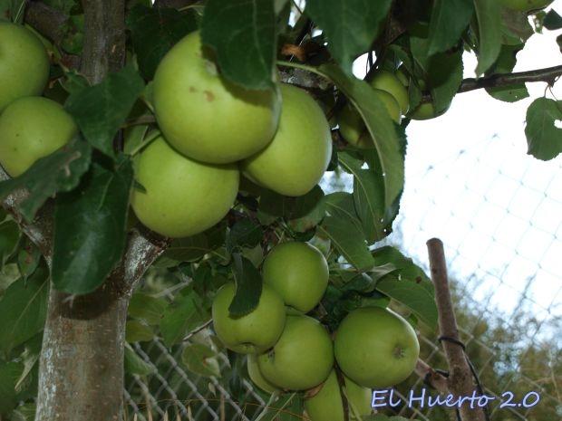 Con el árbol cargado de fruta