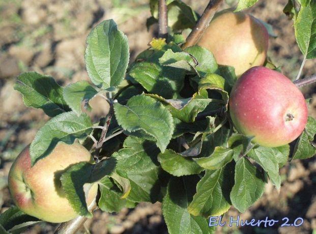 Manzanas sin clasificar