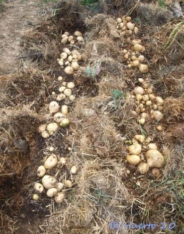 Producción  de patatas Kennebeck