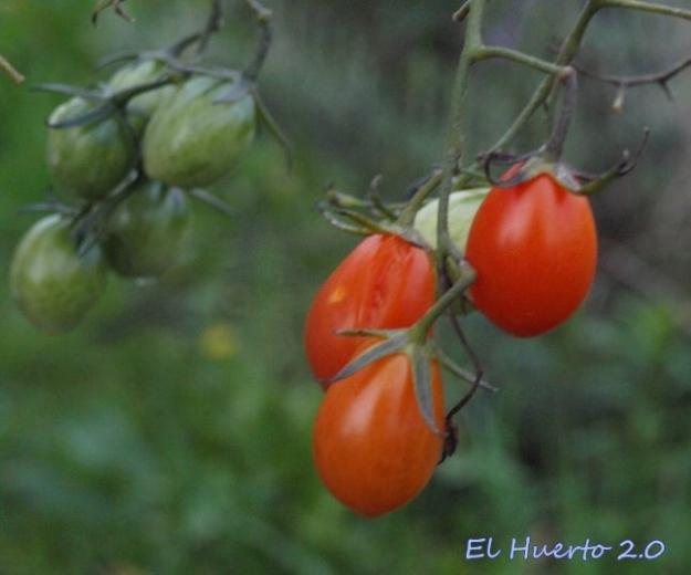 De los últimos tomates Sugar Sugar