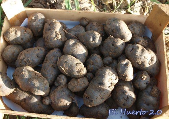 Cosecha final de las tres patatas