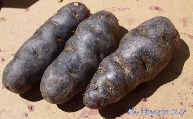 Tres patats moradas