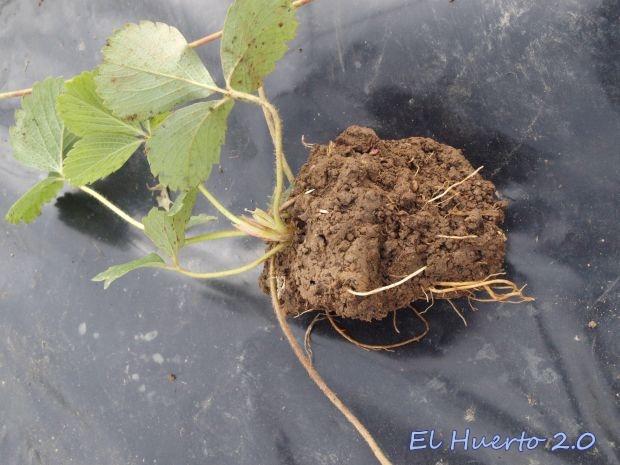 Planta antes del trasplante