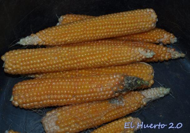 Mazorcas delgadas de grano más fino menudo