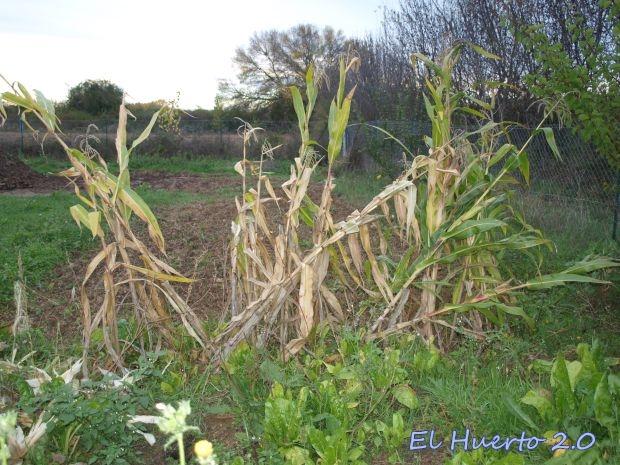 Hilera de maíz