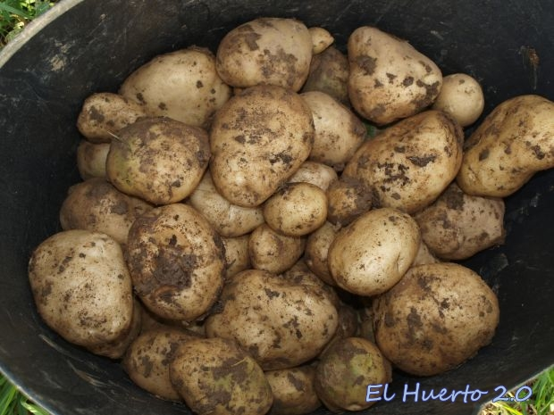 Patatas tardías