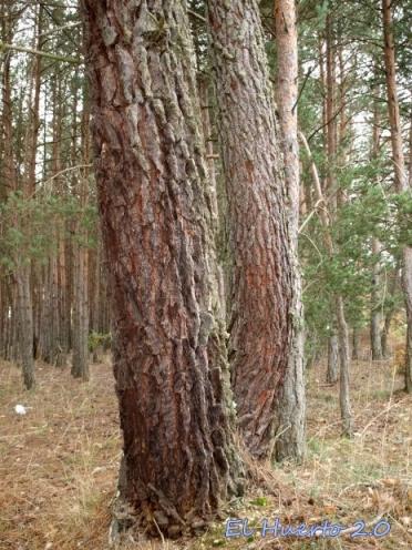 En zona de pinares