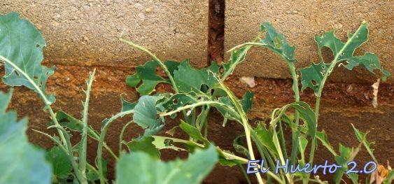 Semillero apenas sin hojas