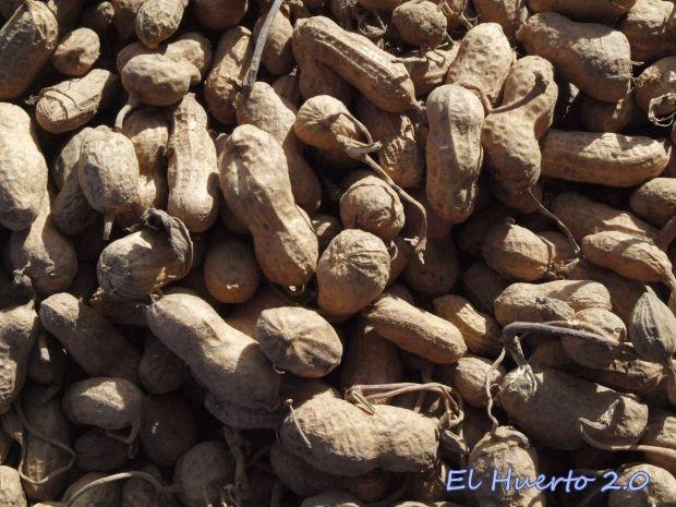 Cacahuetes secando al sol