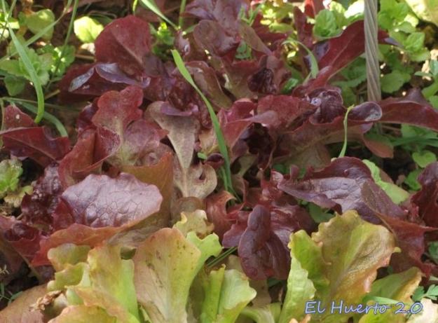 Hoja de Roble en el semillero