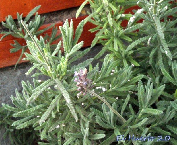 Alhucema en flor