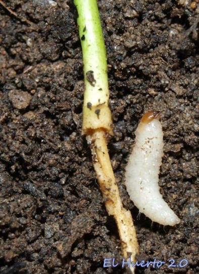Con las raíces comidas de una plántula de naranjo