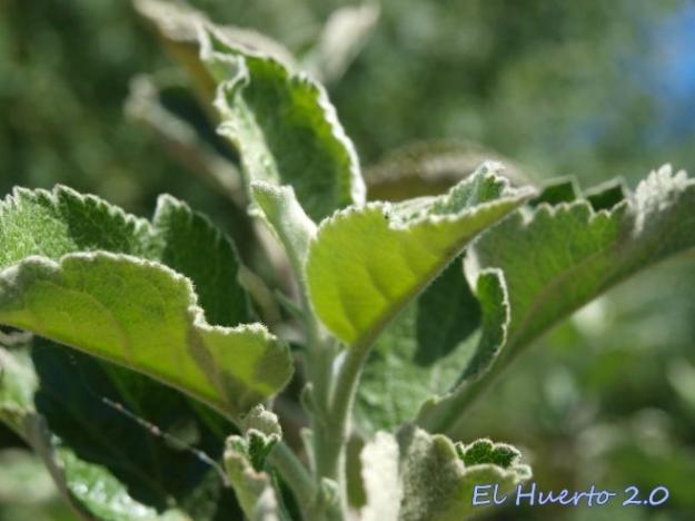 Tallos sanos de manzano