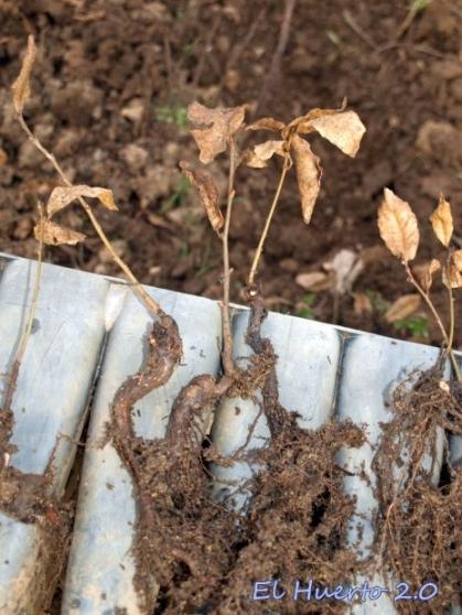 Plantas listas para el trasplante