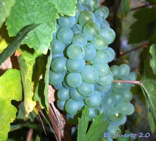 Uvas de Verdejo